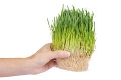 Potomstwo adry flanca w ręce odizolowywającej na białym tle, zielona trawa, zdrowy jedzenie fotografia stock