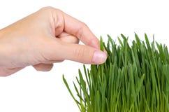 Potomstwo adry flanca w ręce odizolowywającej na białym tle, zielona trawa, zdrowy jedzenie fotografia royalty free