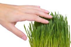 Potomstwo adry flanca w ręce odizolowywającej na białym tle, zielona trawa, zdrowy jedzenie zdjęcia stock
