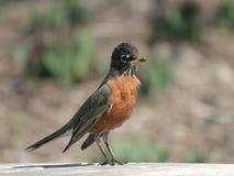 Młodego Amerykańskiego rudzika Ptasia pozycja na ogrodzeniu Fotografia Stock