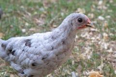 Potomstwo dostrzegający zwierzę domowe kurczak obrazy royalty free