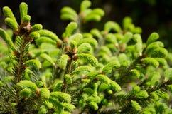 Potomstwo flanca świerczyna Świezi potomstwo zieleni krótkopędy w wiosny selekcyjnej miękkiej ostrości Fotografia Stock