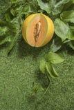 Potomstwo flanca Japo?scy melony lub kantalup?w melon?w ro?liny zdjęcia royalty free