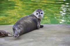 Potomstwo foka zdjęcie stock