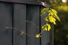 Potomstwo gałąź podskakuje na ogrodzeniu w świetle słonecznym Zdjęcie Royalty Free