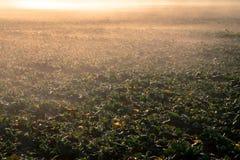 Potomstwo gwałta pole w ranku słońcu Zdjęcie Royalty Free