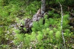 Potomstwo krótkopędy i stare kępki drzewa Obraz Stock