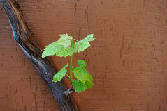 Potomstwo krótkopęd na starym winogradzie Zdjęcia Stock