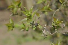 Potomstwo liście i pączki bez Kwitnąć pączki bez Obrazy Royalty Free