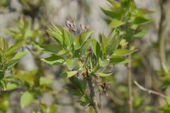 Potomstwo liście i pączki bez Kwitnąć pączki bez Zdjęcie Stock