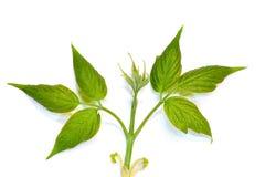 Potomstwo liście drzewni na bielu Fotografia Stock