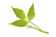 Potomstwo liście drzewni na bielu Zdjęcia Royalty Free