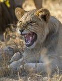 Potomstwo lwa męski plątanie, Południowa Afryka Zdjęcia Stock