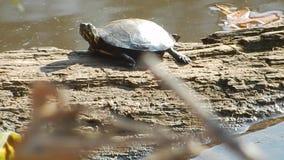 Potomstwo Malująca żółwia pięcia skała w Pandapas stawu parku Va zbiory