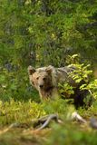 Potomstwo niedźwiedź Obraz Stock