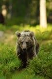 Potomstwo niedźwiedź Obraz Royalty Free