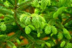 Potomstwo oferty zieleni krótkopędy świerczyna fotografia royalty free