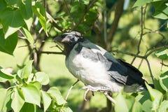 Potomstwo okapturzająca wrona Corvus cornix, także nazwany Hoodiecrow Zdjęcie Stock