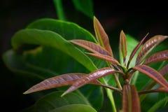 Potomstwo porady mangowi liście wiążą, czerwień w colour, anthocyanin, tło Oferta li?cie fotografia royalty free