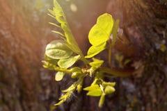 Potomstwo zieleni flanca akacja na drzewnym bagażniku Obrazy Royalty Free
