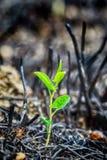 Potomstwo zieleni flanca po ogienia Obrazy Stock