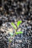 Potomstwo zieleni flanca po ogienia Fotografia Royalty Free