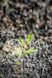 Potomstwo zieleni flanca po ogienia Zdjęcia Stock