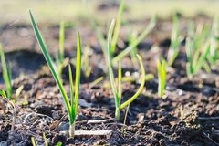 Potomstwo zieleni flance czosnku dorośnięcie od ziemi w wiosna słonecznym dniu Natury obudzenia pojęcie zdjęcia stock