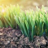 Potomstwo zieleni krótkopędy w backlit świetle słonecznym Fotografia Stock