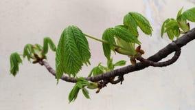 Potomstwo zieleni liście kasztan na gałąź na białym tle Obraz Royalty Free