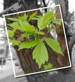 Potomstwo zieleni liście kasztan na drzewie Obrazy Stock