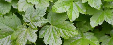 Potomstwo zieleni li?cie klon Naturalnej wiosny lata t?o Klonowy ulistnienie Moczy li?cie po deszczu obrazy stock