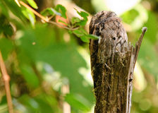 Free Potoo Camouflaged During The Day Royalty Free Stock Image - 24241556