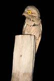 Potoo común, griseus de Nyctibius, pájaro tropical nocturno en vuelo con las alas abiertas, escena de la acción de la noche, anim Fotografía de archivo