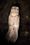 共同的Potoo, Nyctibius griseus,夜的热带海鸟坐树枝,夜行动场面,在黑暗的自然h的动物 免版税库存照片