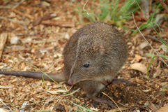 Potoroo au nez long Photos libres de droits