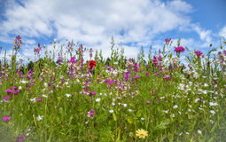 Potpourri wildflower meadow. And blue sky Stock Images