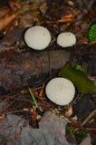 Potrójnej purchawki pieczarkowi grzyby przy Sapsucker drewnami Ithaca NY Fotografia Stock