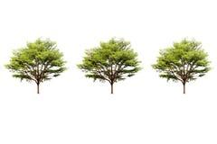 Potrójny Terminalia ivorensis Chev drzewo odizolowywał białego tło Obraz Royalty Free