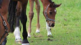 Potra y yegua del potro del caballo en pasto verde metrajes