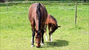Potra y yegua del potro del caballo en pasto verde almacen de metraje de vídeo