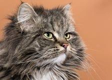 猫potrait 库存照片