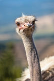 Potrait of an African Ostrich in Natural Environment Stock Photo