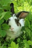 Potrait av twocollored kanin med långa öron i långt gräs royaltyfri fotografi