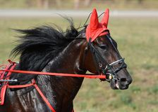 Potrait of a bay horse trotter breed in motion on hippodrome. Harness horse racing royalty free stock photography
