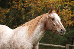 Potrait of beautiful appaloosa mare Royalty Free Stock Image