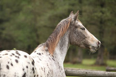 Potrait of beautiful appaloosa mare Royalty Free Stock Images