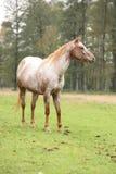 Potrait of beautiful appaloosa mare Stock Photos