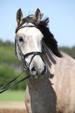 Potrait of beautiful horse with bridle Stock Photography