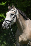 Potrait of beautiful horse with bridle Stock Photos